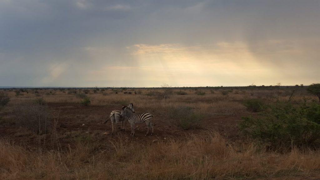 Beautiful artistic Zebra's